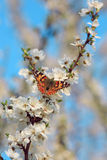Butterfly on a branch of sakura tree Royalty Free Stock Image