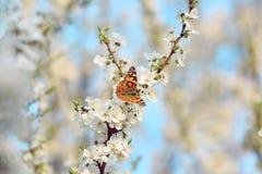 Butterfly on a branch of sakura tree Stock Photo