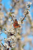 Butterfly on a branch of sakura tree Stock Image