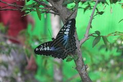 Butterfly on a branch royalty free stock photo