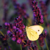 Butterfly - Brassicae Pieris on Lavandula Royalty Free Stock Photography