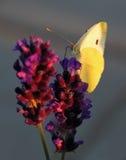 Butterfly - Brassicae Pieris on Lavandula Royalty Free Stock Image