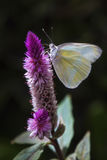 Butterfly at Breakfast. Butterfly feeding on a colorful purple flower Stock Photo