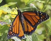 Butterfly Breakfast. Freshly emerged from its cocoon, a Monarch Butterfly enjoying its first breakfast. Mexico's Environmental Secretary Rafael Pacchiano stock photography