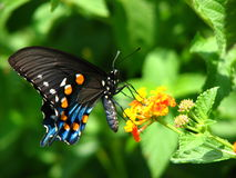 Butterfly Breakfst Royalty Free Stock Image