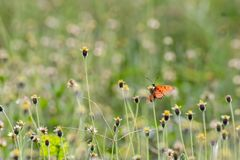 Butterfly breed Royalty Free Stock Photography