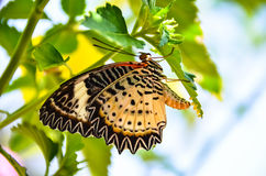 Butterfly Breeding stock images