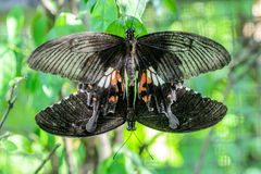 Butterfly Breeding Royalty Free Stock Photo