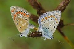Butterfly. Breeding pair of blue butterflies Stock Image