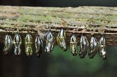 Butterfly breeding