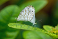 Butterfly breeding Stock Photos
