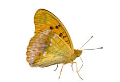 Butterfly (Brenthis) 3 Royalty Free Stock Photos