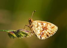 Butterfly (Brenthis ino) Stock Image