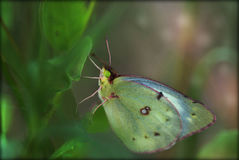 Butterfly. With bright green eyes on a green leaf with green background Royalty Free Stock Photo