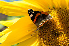 butterfly and bright yellow blossoming sunflower Stock Photos
