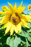 Butterfly and bright yellow blossoming sunflower. A dark butterfly with red and white spots close up sitting on a bright yellow blossoming sunflower in the stock images