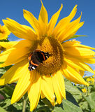 Butterfly and bright yellow blossoming sunflower Stock Photo