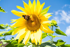 Butterfly and bright yellow blossoming sunflower Royalty Free Stock Image
