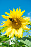 Butterfly and bright yellow blossoming sunflower Royalty Free Stock Photo