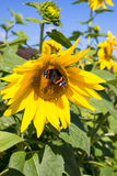 Butterfly and bright yellow blossoming sunflower Royalty Free Stock Photos
