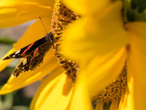 Butterfly and bright yellow blossoming sunflower Royalty Free Stock Images