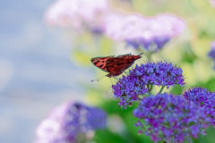 Butterfly & Flowers. A butterfly is busy collecting honey Royalty Free Stock Image