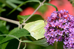 Butterfly brimstone Royalty Free Stock Photography