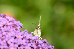 Butterfly brimstone Royalty Free Stock Image