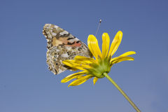 Butterfly (Brintesia Cicrce) Stock Images