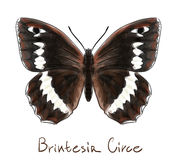 Butterfly Brintesia Circe. royalty free illustration