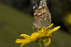 Butterfly (Brintesia circe) Stock Images