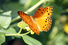 Butterfly with broken wing Royalty Free Stock Photos