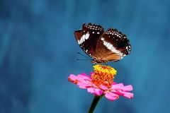 Butterfly with broken wing. Perched on flower`s petal. The flower itself has pink color, combined with blue background Stock Photography