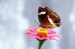Butterfly with broken wing Royalty Free Stock Photo