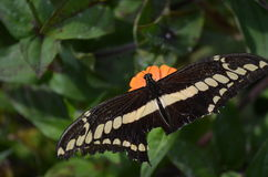 Butterfly. A butterfly with broken wings stock images