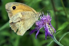 Butterfly with broken wings royalty free stock images