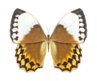 Butterfly brown Royalty Free Stock Images