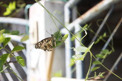 Butterfly. Brown butterfly climbing on green leave Royalty Free Stock Photos
