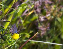 Butterfly Aricia agestis sits on small yellow flower Medicago falcata on summer meadow, side view. Butterfly brown color with orange spots Aricia agestis sits on Royalty Free Stock Photography