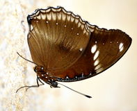 Butterfly. Brown gossamer winged butterfly with white streaks and patches Stock Photo