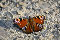 Butterfly. Brown butterfly on the ground Stock Images