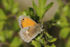 Butterfly Brown heath Stock Image