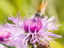 Butterfly on brown Knapweed, Centaurea jacea macro, selective focus Royalty Free Stock Photography