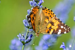 Butterfly. Brown butterfly on purple lavender Stock Image