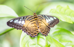 Butterfly with brown-white wings Royalty Free Stock Photos