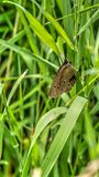 Butterfly. Brown winged butterfly with spots on a blade of green grass stock photography