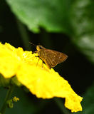 Butterfly Brown On yellow flowers Royalty Free Stock Image