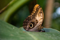 Butterfly brown and yellow Stock Photography