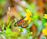 Butterfly Brunch. A beautiful butterfly enjoying a midday snack of sweet nectar from a flower Royalty Free Stock Photo