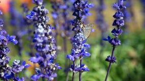 Butterfly bule. Butterfly is on the blue flower. It is still standing on blue flower stock photography